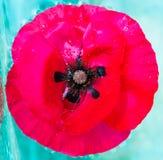 Nasse Mohnblume im Wasser Stockfotos