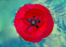 Nasse Mohnblume im Wasser Lizenzfreies Stockfoto