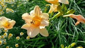 Nasse orange Lilie auf grünem Hintergrund Stockbild
