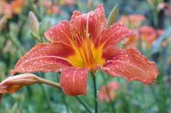 Nasse orange Lilie bedeckt durch Regentropfen lizenzfreie stockfotos