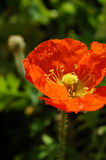 Nasse orange Mohnblume Stockfoto