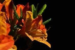 Nasse orange Rhododendronblume mit dem langen Staubgefässe auf schwarzem Hintergrund, sichtbaren Wassertropfen und Jungeblättern Lizenzfreies Stockfoto