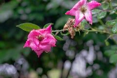 Nasse rosa Rose mit Regentropfen Stockfoto