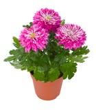 Nasse rosafarbene Chrysanthemeblumen im Potenziometer Stockfotografie
