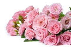 Nasse rosafarbene Rosen auf einem weißen Hintergrund Stockfoto