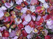 Nasse rote herbstliche Blätter Novembers Lizenzfreies Stockbild