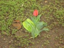 Nasse rote Tulpe Lizenzfreie Stockfotografie