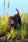Nasse Schokolade Labrador Stockfotografie