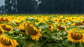 Nasse Sonnenblumen lizenzfreie stockfotos