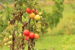 Nasse Tomaten, die im Garten wachsen Stockfotografie