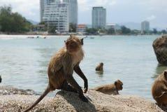 Nasser Affe, der auf einem Felsen ein Sonnenbad nimmt Lizenzfreie Stockfotos