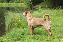 Nasser brauner Hund Stockfotografie