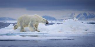 Nasser Eisbär Stockfotos