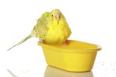 Nasser, gebadeter Papagei Stockfotos