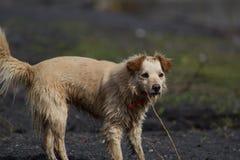 Nasser gelber Hund am Strand Stockbild