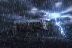 Nasser grauer Wolf auf dem Felsen Stockfotografie