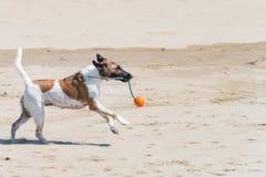 Nasser Hund, der auf dem Strand mit einem Seil laufen und ein Ball im Mund Stockfotografie