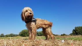 Nasser Hund, der auf Strohballen mit blauen Himmeln und grüner Landschaft steht lizenzfreies stockbild