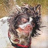 Nasser Hund, der Kopf rüttelt Stockbild