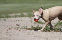 Nasser Hund, der mit orange Ball und lustigem Ausdruck spritzt Lizenzfreie Stockfotografie