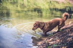 Nasser Hund durch den See Stockbilder