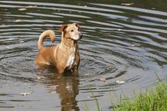 Nasser Hund im gewellten Wasser Stockbilder
