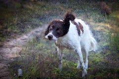 Nasser Hund produziert Wassertröpfchen, indem er seinen Körper rüttelt Lizenzfreies Stockfoto