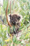 Nasser Koalabär, der in einem Baum schläft Lizenzfreie Stockfotos