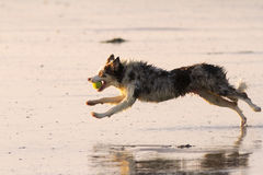 Nasser laufender Hund Stockfoto