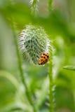 Nasser Marienkäfer auf Mohnblumenknospe auf Garten Lizenzfreie Stockfotografie