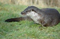 nasser Otter stockfotografie