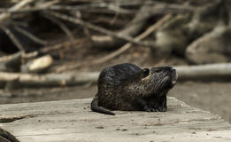 Nasser Otter Lizenzfreie Stockfotos