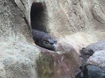Nasser Otter, der für ein anderes Schwimmen sich vorbereitet, wie er auf dem Ufer sitzt, das durch Felsen umgeben wird stockfoto