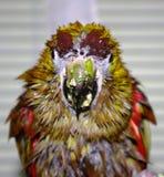 Nasser Papagei Lizenzfreie Stockbilder
