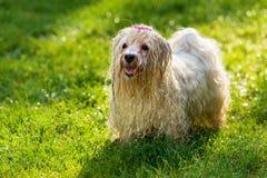 Nasser spielerischer Havanese-Hund wartet auf einen Wasserstrahl Stockfotos