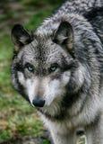 Nasser Wolf Lizenzfreie Stockfotos