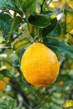 Nasser Zitrusfruchtbaum Lizenzfreies Stockfoto