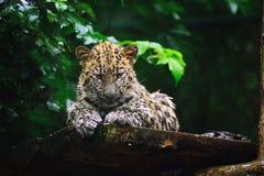 Nasses Amur-Leopardjunges Lizenzfreie Stockfotografie