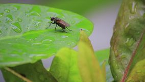 Nasses Blatt mit einer Fliege stock video