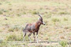 Nasses blesbok im Bergzebra-Nationalpark Lizenzfreies Stockbild