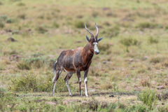 Nasses blesbok im Bergzebra-Nationalpark Stockfotos