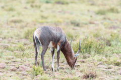 Nasses blesbok im Bergzebra-Nationalpark Lizenzfreie Stockfotos