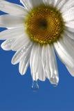 Nasses Gänseblümchen Stockbild