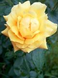 Nasses Gelb stieg Stockbild