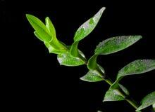 Nasses grünes Blatt im schwarzen Hintergrund stockbild