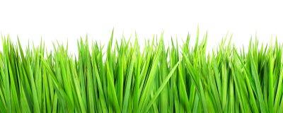 Nasses Gras auf weißem Hintergrund Lizenzfreie Stockfotografie