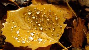 Nasses Herbstblatt. Stockbild