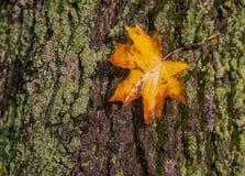 Nasses Herbstblatt liegt auf der Barke eines Baums auf einem grünen MOS Lizenzfreie Stockfotografie