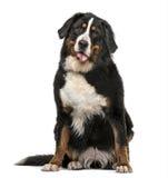 Nasses Keuchen des Bernen Sennenhunds lokalisiert auf Weiß Lizenzfreie Stockfotos