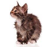 Nasses Kätzchen Stockbild